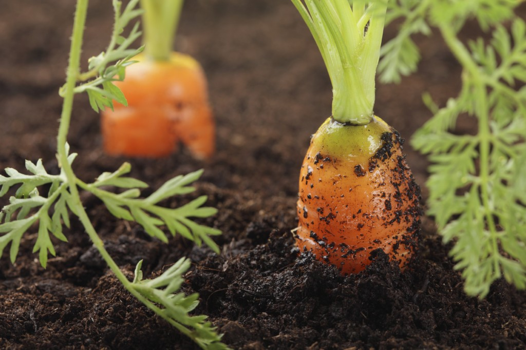 carrots growing in the soil, shalow DOF